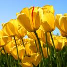 Thumb tulips