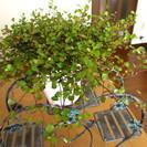 観葉植物 ワイヤープランツ