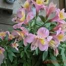 ■アルストロメリア 鉢植え 多株(開花中)  その他■ 全部で80...