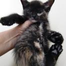 【ご希望者さま多数のため、終了致します】生後1ヶ月半 4兄妹 仔猫...