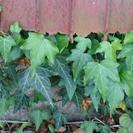 自家栽培 ヘデラ 約20cm×5本
