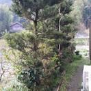 植木 槇の木 無料 2本 あげます