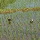 秋の稲刈り作業を手伝って下さい。(1人)