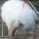 アメファジmixの子ウサギ。
