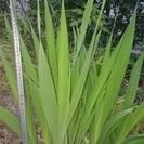 植物あげます 水仙(球根)、竜の髭、芝少々、レモングラスその他