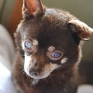 保護犬:穏やかなチワワのおばあちゃん