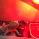 爬虫類 フトアゴヒゲトカゲ