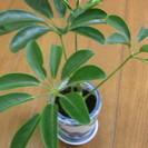 商談中です。観葉植物 シェフレラ(カポック)有田焼 アジアンテース...