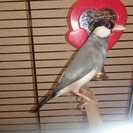桜文鳥のオス6ヵ月