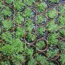水草 ウォーターローン 水上葉