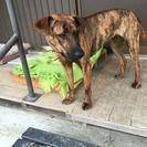 徳山ダムで保護された猟犬です。