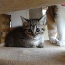 キジトラ♂2か月 女の子