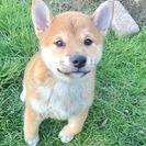 【お願いします!】【動画あり】2か月の柴犬メスの里親になってください。