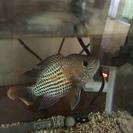熱帯魚 グリーンテラー ハーフ ショート