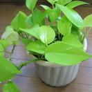 観葉植物 ポトス(ライムレモン)