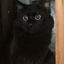 【函館市内及び近郊】黒ネコ1才男の子