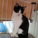 白黒ハチワレ仔猫です。写真変更