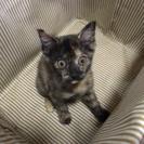 2ヶ月♀の子猫です。素敵な里親さん募集してます。