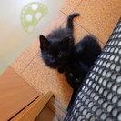 (急募)子猫の里親募集