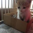 里親さん決まりました!  子猫 クリーム&ホワイトの男の子