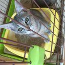一度実物を見てください!美猫3匹です!里親さん募集!