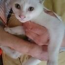 別嬪白猫ちゃん 雌3ヶ月
