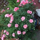 【無料】薔薇差し上げます(取りに来ていただける方限定)