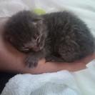 サバトラの子猫