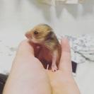 ハムスターの赤ちゃん産まれました