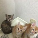 生後6週間の子猫 一時中止中