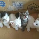 子猫ちゃん生後1ヶ月6匹里親募集