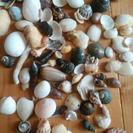 貝殻いろいろ