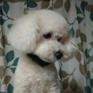 里親募集‼ トイプードル 4歳オス 白色の室内犬