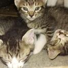 生後4週の子猫3匹の里親さん募集です