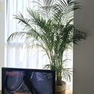 【元気で育てやすい観葉植物】アレカヤシ