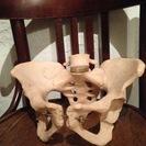 骨の模型です。