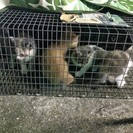 可愛い2か月未満の子猫5匹です♪