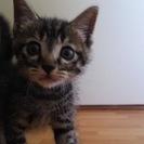 生後1~2か月?キジトラの可愛い子猫です。