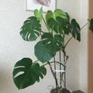 モンテスラ  観葉植物