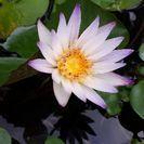 熱帯睡蓮 紫式部 ムカゴ苗