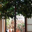 必見❗❗元気で、立派な観葉植物です。