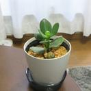 商談中です。観葉植物 金のなる木(フチベニベンケイ )多肉植物の仲...