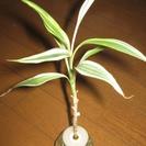観葉植物 土をつかわない水耕栽培 特殊なセラハイトで育てたサンデリアーナ