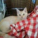 綺麗なクリーム色の美人赤ちゃん猫貰って!