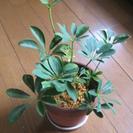 商談中です。観葉植物 カポック シェフレラ 古風な素焼きの鉢