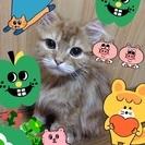 チンチラ×ペルシャの子猫