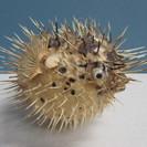 【ハリセンボン】剥製◆飾り◆インテリア◆海の生き物◆珍品