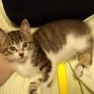 新潟市、生後3ヶ月の子猫の里親募集です