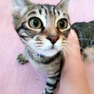 【急募】推定 8ヶ月 オス猫