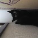 生後3ヵ月未満の黒猫(女の子)の里親さん募集です